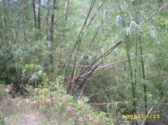 forêt de bamboux