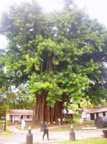 arbre à caoutchouc