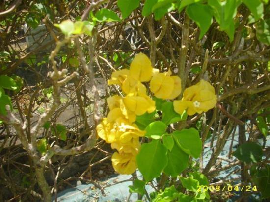 Bougainvillier double jaune