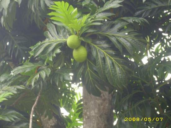 Fruit à pain, l'arbre